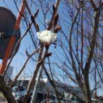 桜の時期は早い…