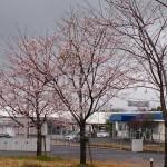❀  桜  ❀