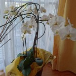 記念式典の胡蝶蘭