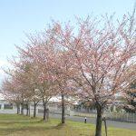 鹿児島の桜ももうすぐ終わりですね