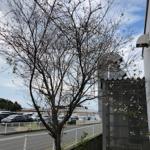 季節外れの桜!